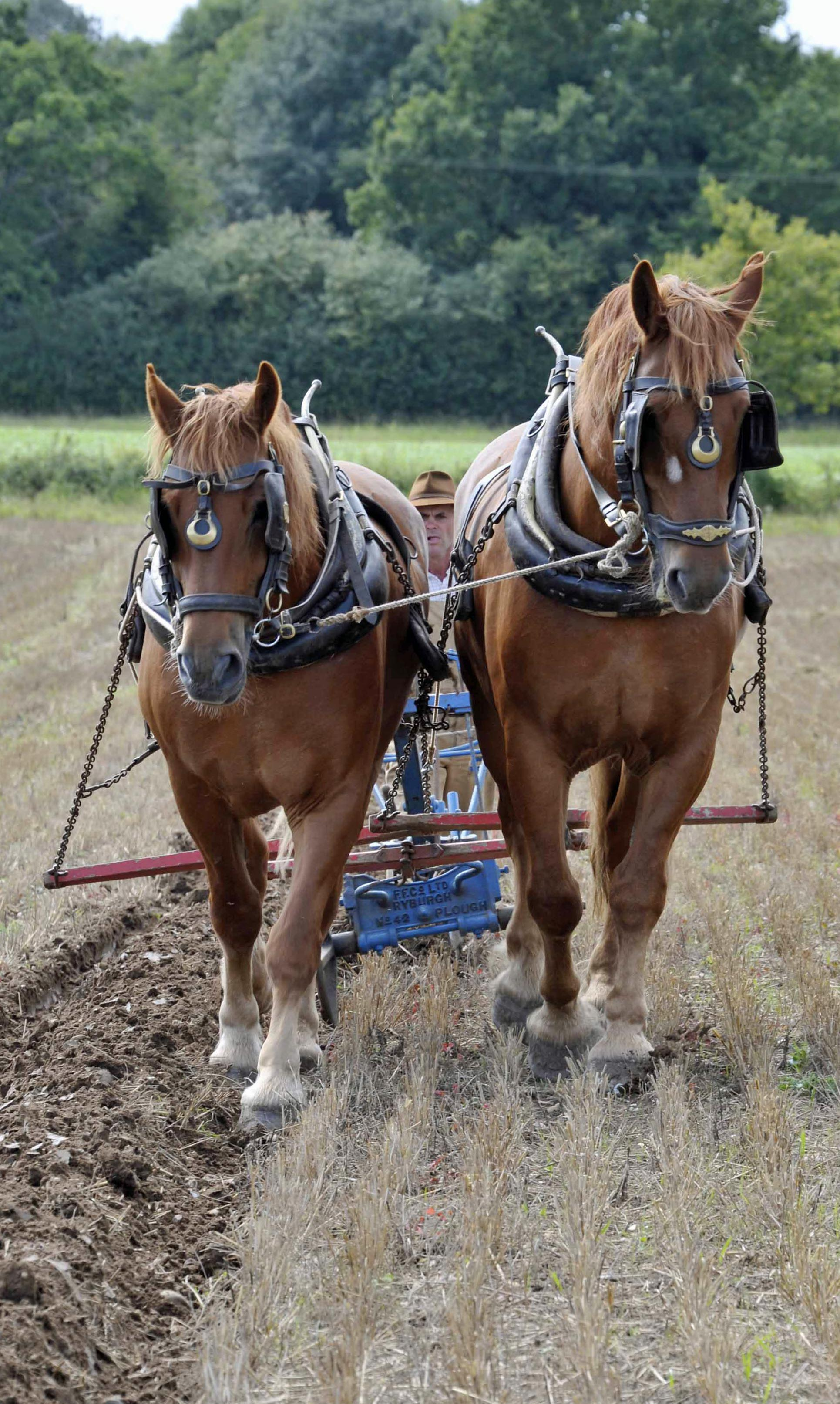 Suffolk Punch heavy horses working at Gressenhall Farm and Workhouse, Norfolk